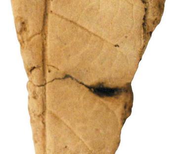 Αποτύπωμα φύλλου σε πηλό, από το στρώμα καταστροφής του συγκροτήματος στο Κομπολόι