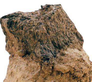 Απανθρακωμένη ρίζα δένδρου (κούρβουλο ; ) κάτω από στρώμα καταστροφής, δίπλα στο συγκρότημα