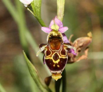 Ορχιδέα Οφρύς οεστριφέρα (Ophrys oestrifera)