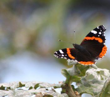 Πεταλούδα Βανέσσα της Αταλάντης (Vanessa atalanta)