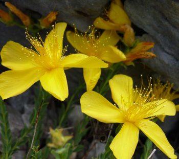 Υπερικό το Ολυμπικό (Hypericum olympicum)